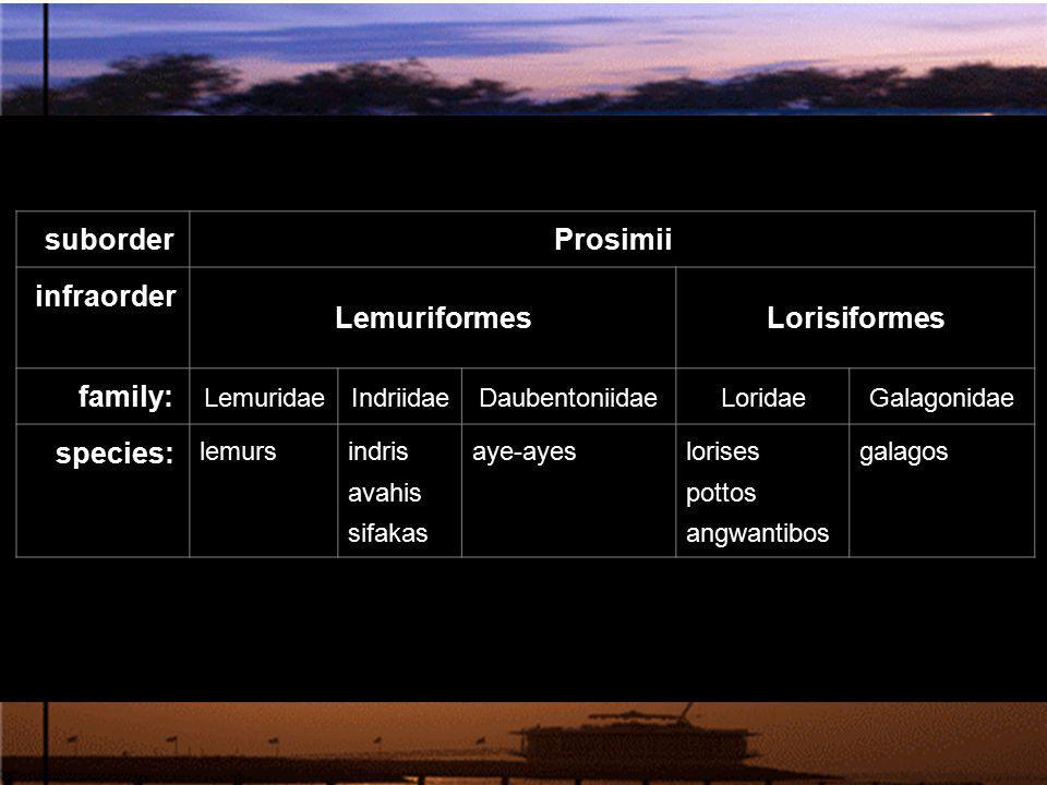 suborder Prosimii infraorder LemuriformesLorisiformes family: LemuridaeIndriidaeDaubentoniidaeLoridaeGalagonidae species: lemursindris avahis sifakas