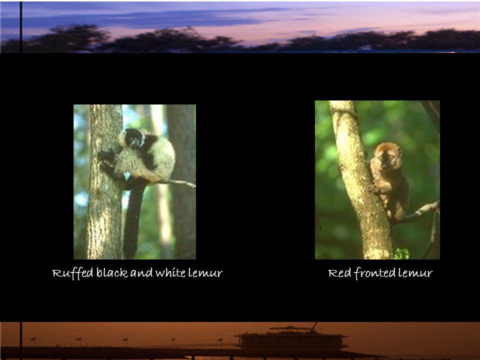 Ruffed black and white lemurRed fronted lemur