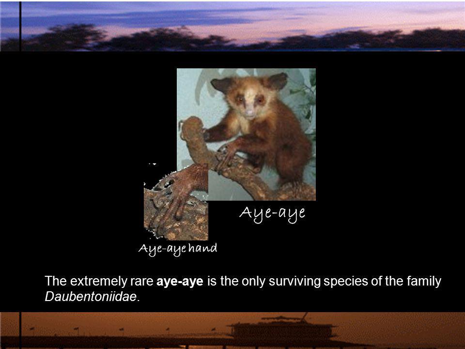The extremely rare aye-aye is the only surviving species of the family Daubentoniidae. Aye-aye Aye-aye hand