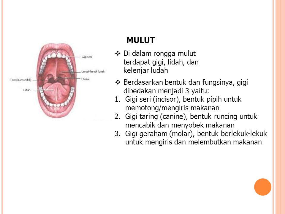 MULUT  Di dalam rongga mulut terdapat gigi, lidah, dan kelenjar ludah  Berdasarkan bentuk dan fungsinya, gigi dibedakan menjadi 3 yaitu: 1.Gigi seri