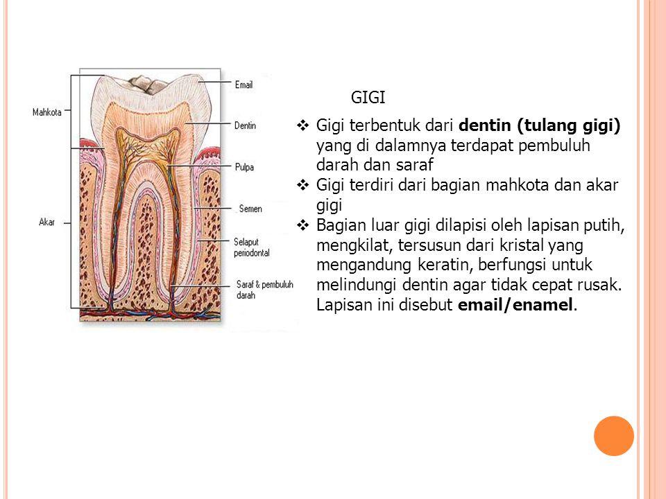GIGI  Gigi terbentuk dari dentin (tulang gigi) yang di dalamnya terdapat pembuluh darah dan saraf  Gigi terdiri dari bagian mahkota dan akar gigi 