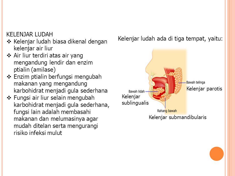 KELENJAR LUDAH  Kelenjar ludah biasa dikenal dengan kelenjar air liur  Air liur terdiri atas air yang mengandung lendir dan enzim ptialin (amilase)