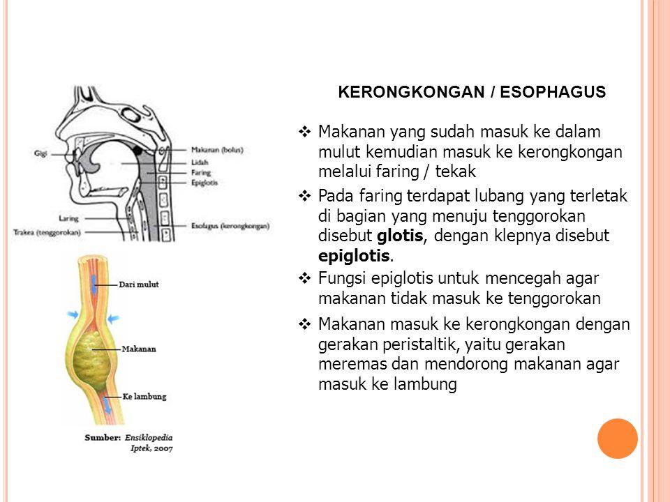 KERONGKONGAN / ESOPHAGUS  Makanan yang sudah masuk ke dalam mulut kemudian masuk ke kerongkongan melalui faring / tekak  Pada faring terdapat lubang