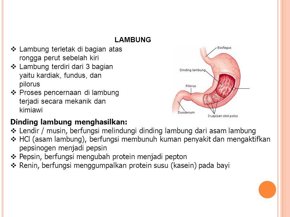 LAMBUNG  Lambung terletak di bagian atas rongga perut sebelah kiri  Lambung terdiri dari 3 bagian yaitu kardiak, fundus, dan pilorus  Proses pencer