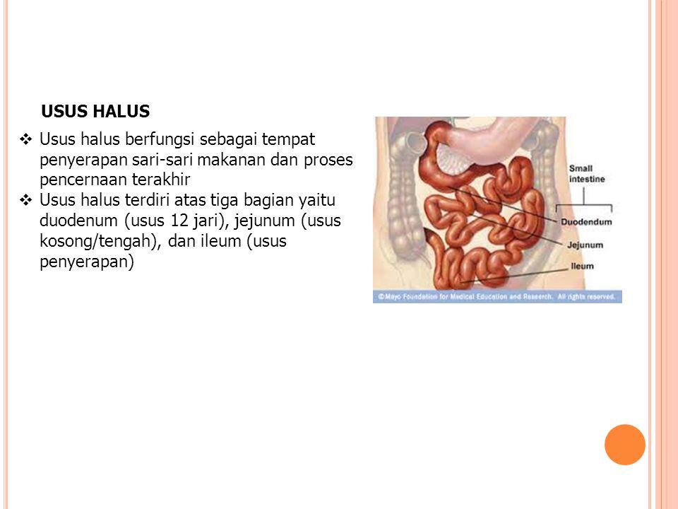 USUS HALUS  Usus halus berfungsi sebagai tempat penyerapan sari-sari makanan dan proses pencernaan terakhir  Usus halus terdiri atas tiga bagian yai