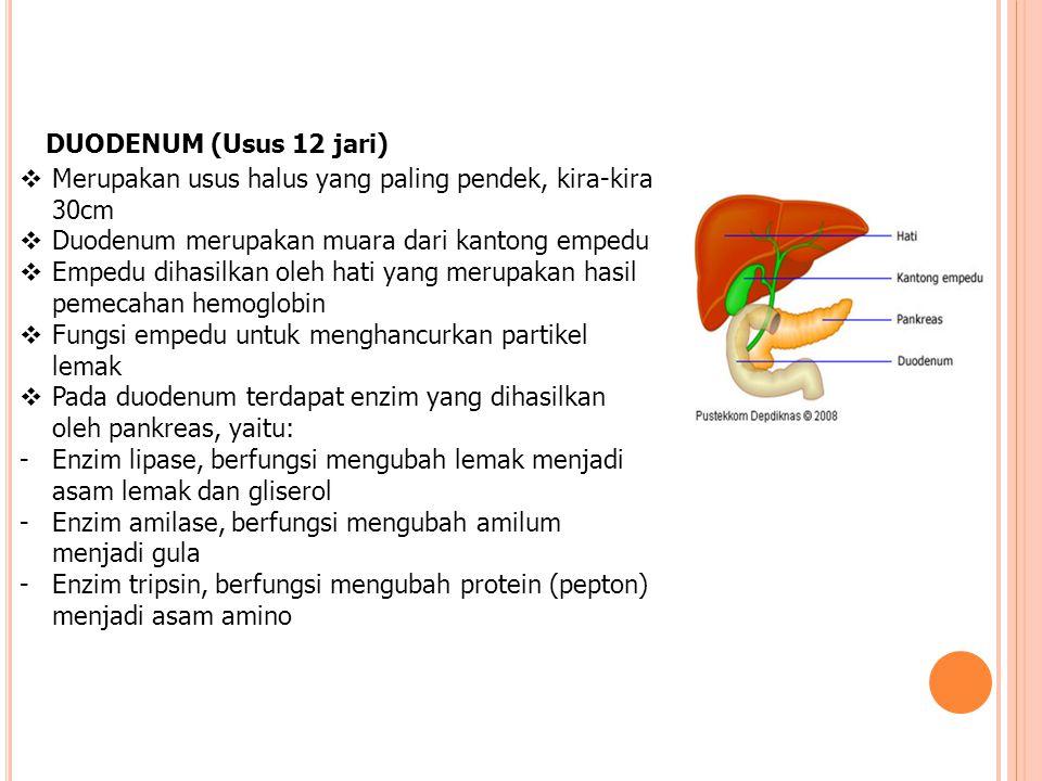 DUODENUM (Usus 12 jari)  Merupakan usus halus yang paling pendek, kira-kira 30cm  Duodenum merupakan muara dari kantong empedu  Empedu dihasilkan o