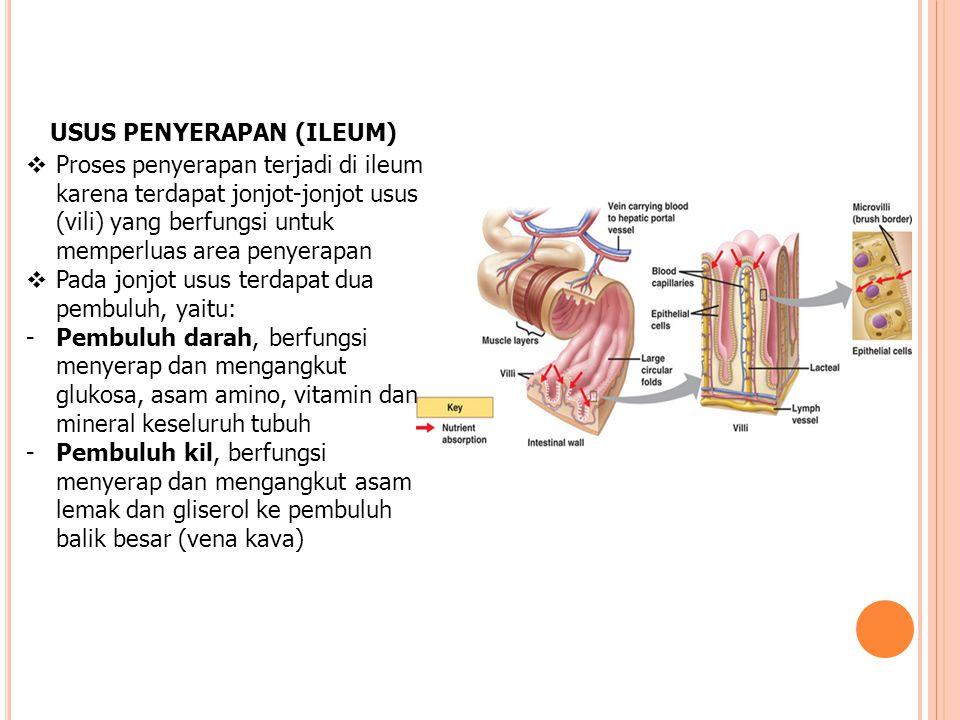 USUS PENYERAPAN (ILEUM)  Proses penyerapan terjadi di ileum karena terdapat jonjot-jonjot usus (vili) yang berfungsi untuk memperluas area penyerapan