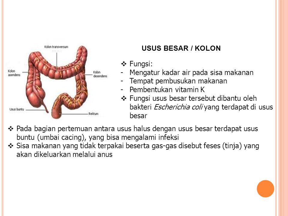 USUS BESAR / KOLON  Fungsi: -Mengatur kadar air pada sisa makanan -Tempat pembusukan makanan -Pembentukan vitamin K  Fungsi usus besar tersebut diba