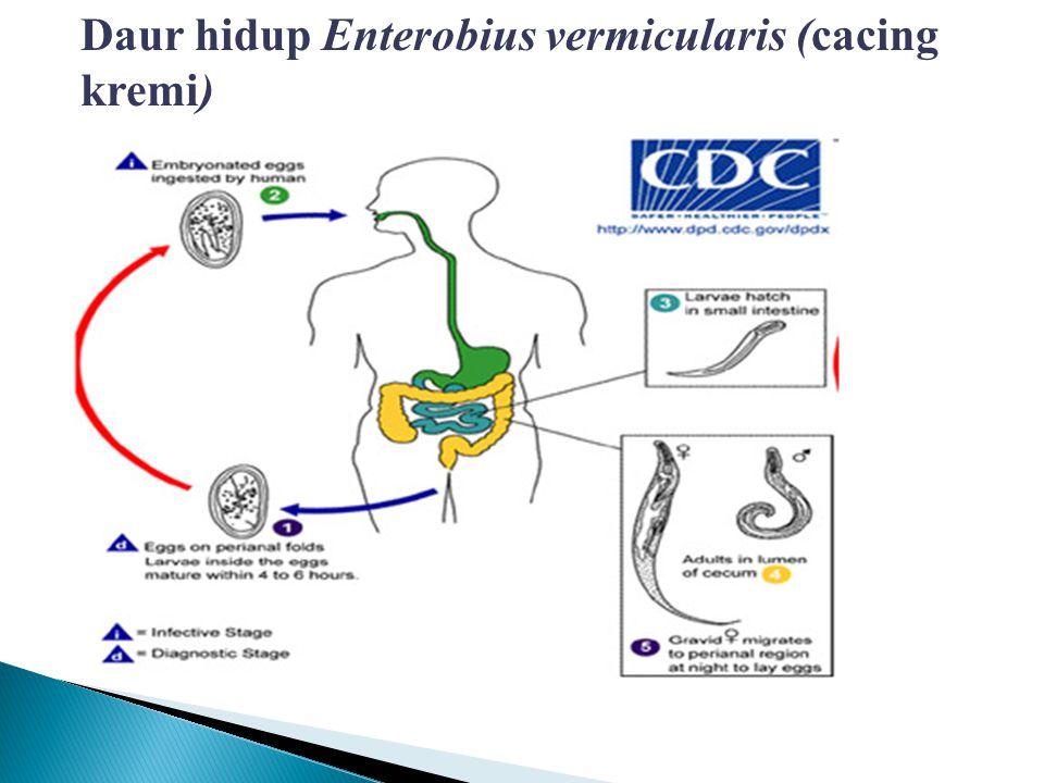 Daur hidup Ascaris lumbricoides (cacing perut)