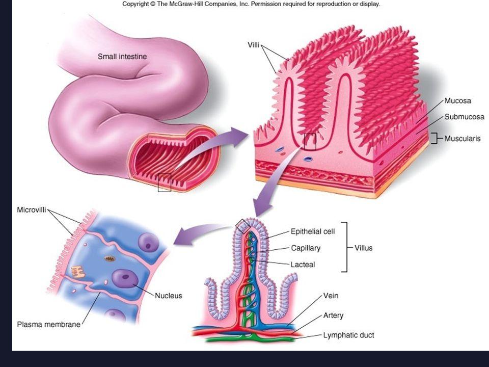 Getah Lambung (Gastric Juice) 1.Pepsinogen Dihasilkan chief sel fundus & korpus 2.