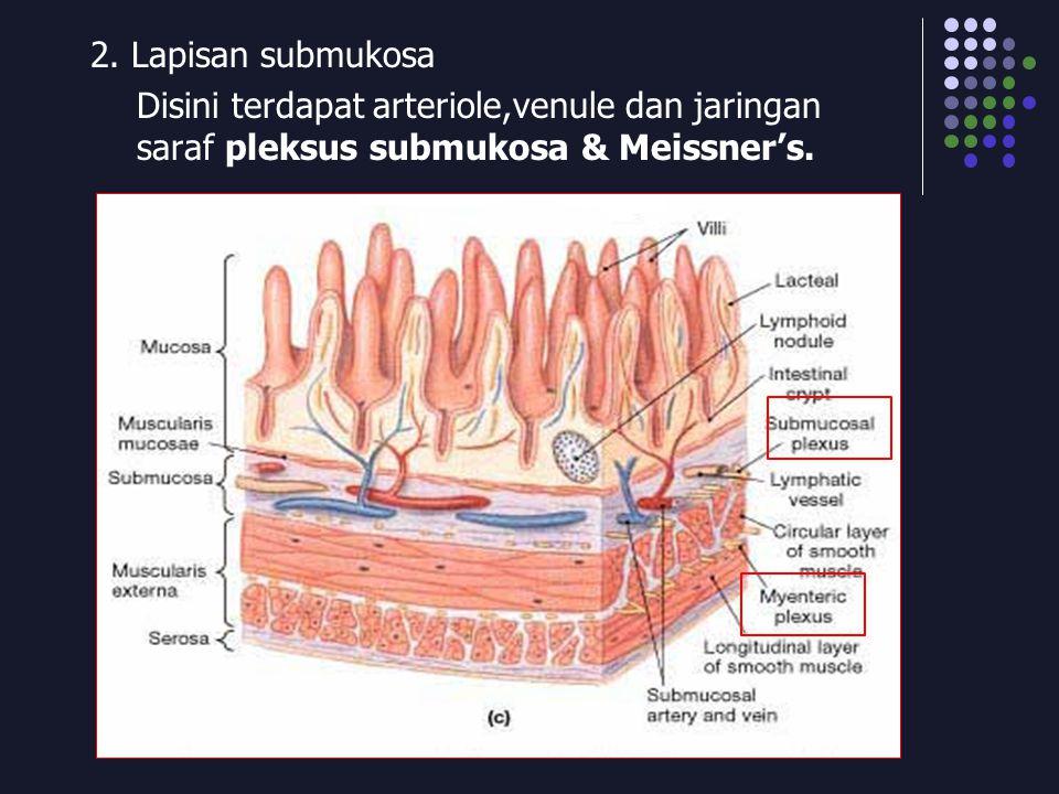 2. Lapisan submukosa Disini terdapat arteriole,venule dan jaringan saraf pleksus submukosa & Meissner's.