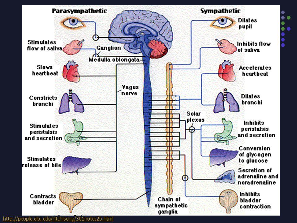 TIPE PERGERAKAN USUS HALUS SECARA OTONOM Gerakan ke belakang dan ke depan dari masing- masing vili, hasil kontraksi otot mukosa Gerakan pendular (ayunan) oleh otot longitudinal Gerakan sirkuler secara ritmik oleh otot sirkuler Gelombang peristaltik (30-120 cm/menit), mendorong isi usus halus (± 1cm/menit) ke arah usus besar.