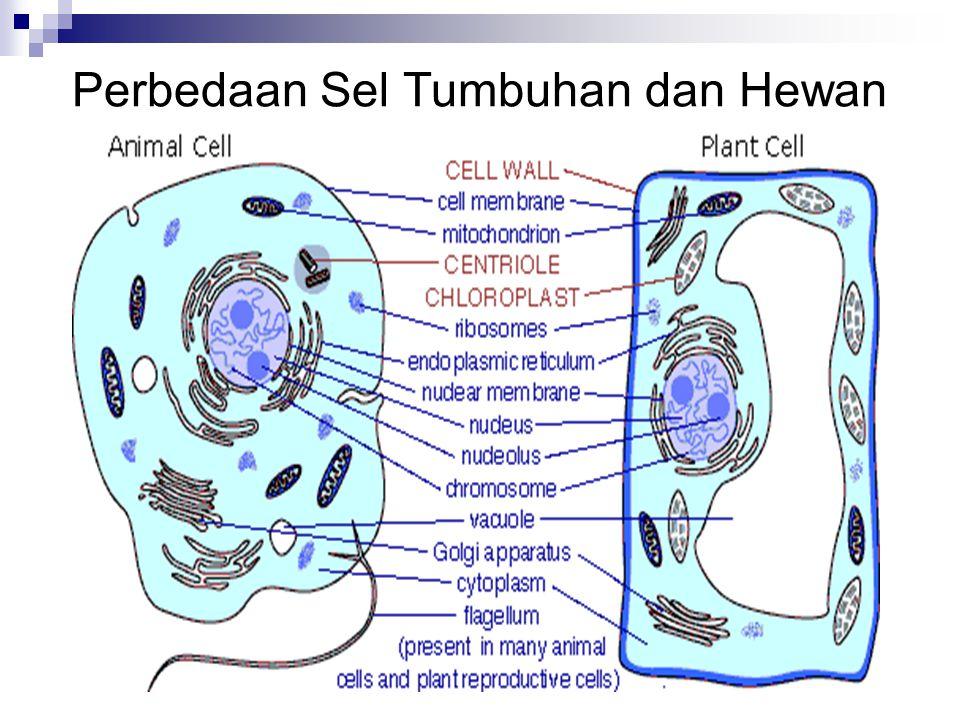 1.Sentriol Mengatur pembelahan sel dan pemisahan kromosom selama pembelahan sel pada hewan 2.