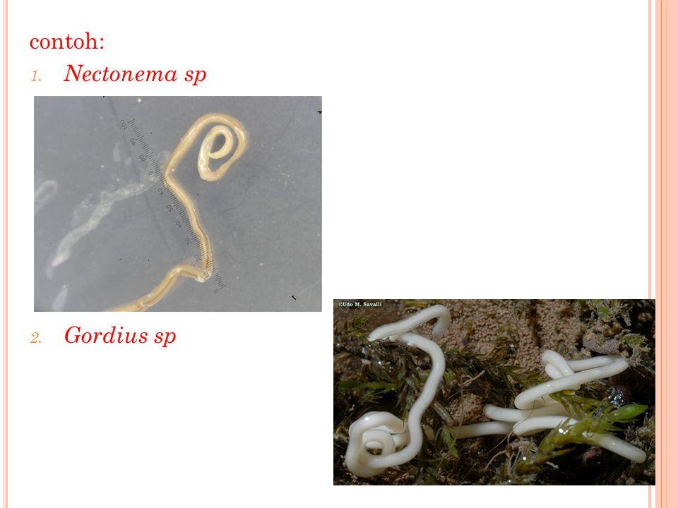 contoh: 1. Nectonema sp 2. Gordius sp