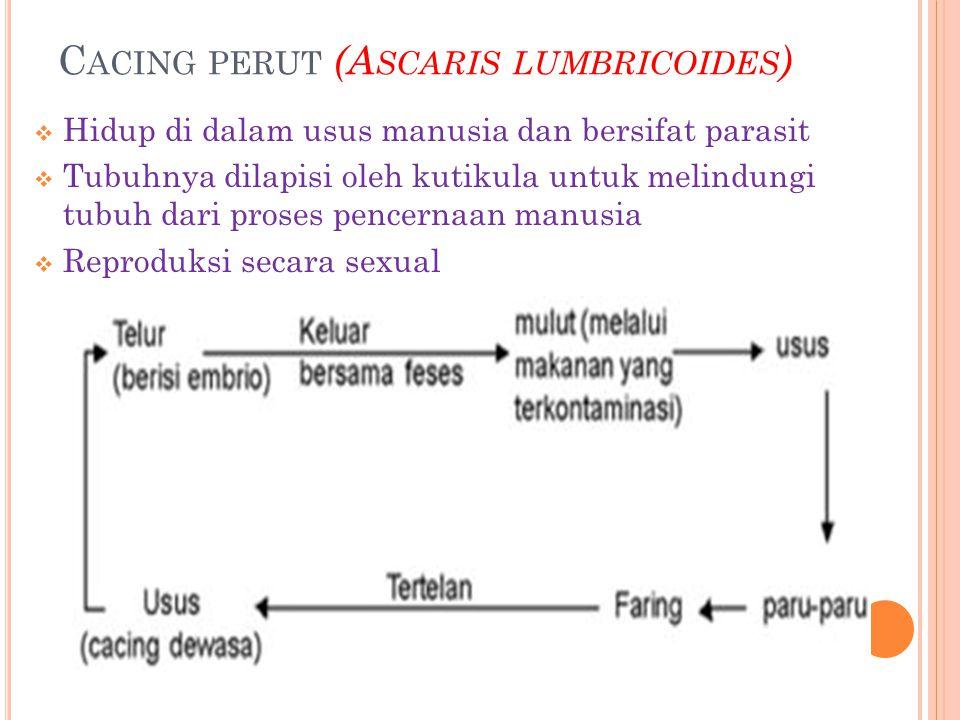 C ACING PERUT (A SCARIS LUMBRICOIDES )  Hidup di dalam usus manusia dan bersifat parasit  Tubuhnya dilapisi oleh kutikula untuk melindungi tubuh dari proses pencernaan manusia  Reproduksi secara sexual