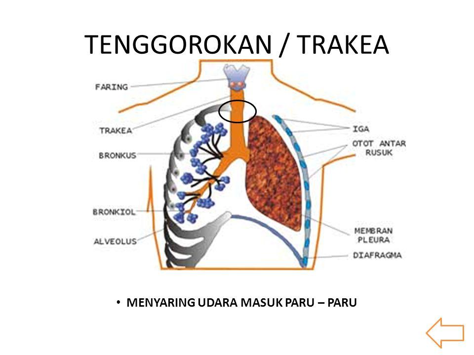 TENGGOROKAN / TRAKEA MENYARING UDARA MASUK PARU – PARU