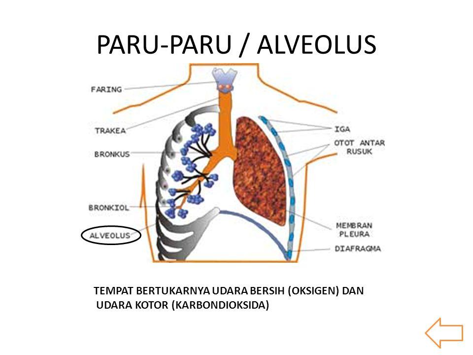 PARU-PARU / ALVEOLUS TEMPAT BERTUKARNYA UDARA BERSIH (OKSIGEN) DAN UDARA KOTOR (KARBONDIOKSIDA)