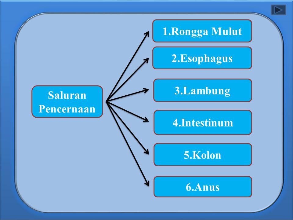 Saluran Pencernaan 6.Anus 5.Kolon 4.Intestinum 3.Lambung 2.Esophagus 1.Rongga Mulut