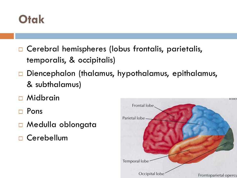 Otak  Cerebral hemispheres (lobus frontalis, parietalis, temporalis, & occipitalis)  Diencephalon (thalamus, hypothalamus, epithalamus, & subthalamu