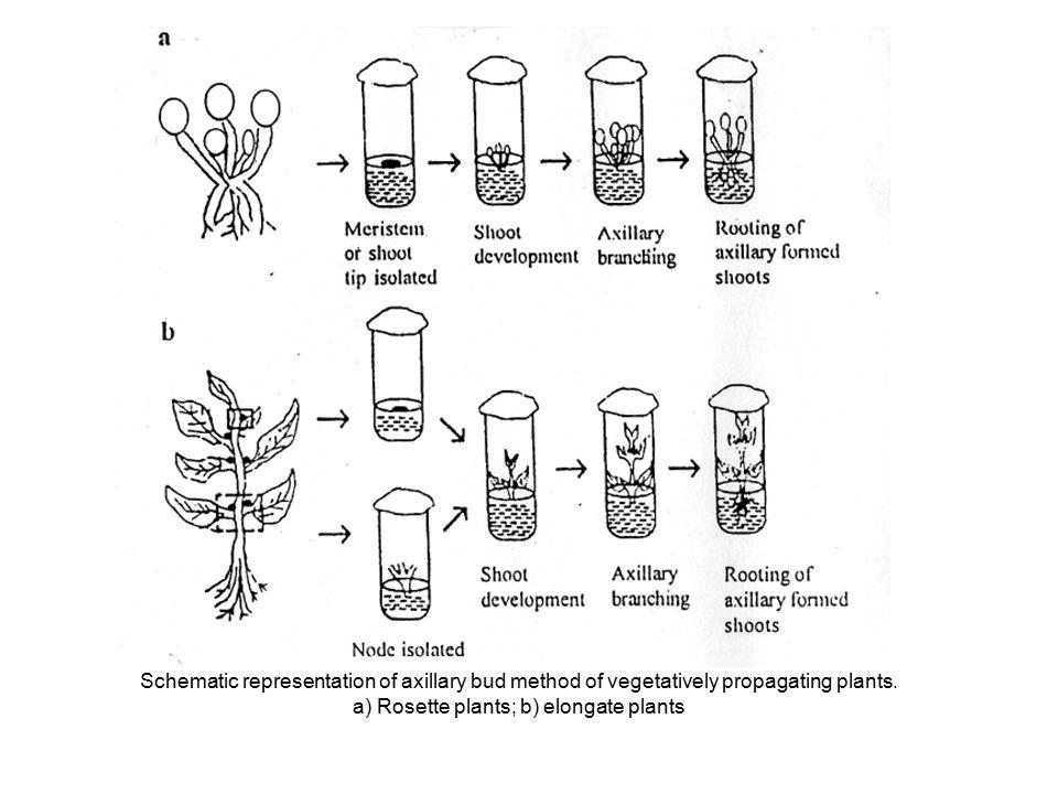 Schematic representation of axillary bud method of vegetatively propagating plants. a) Rosette plants; b) elongate plants
