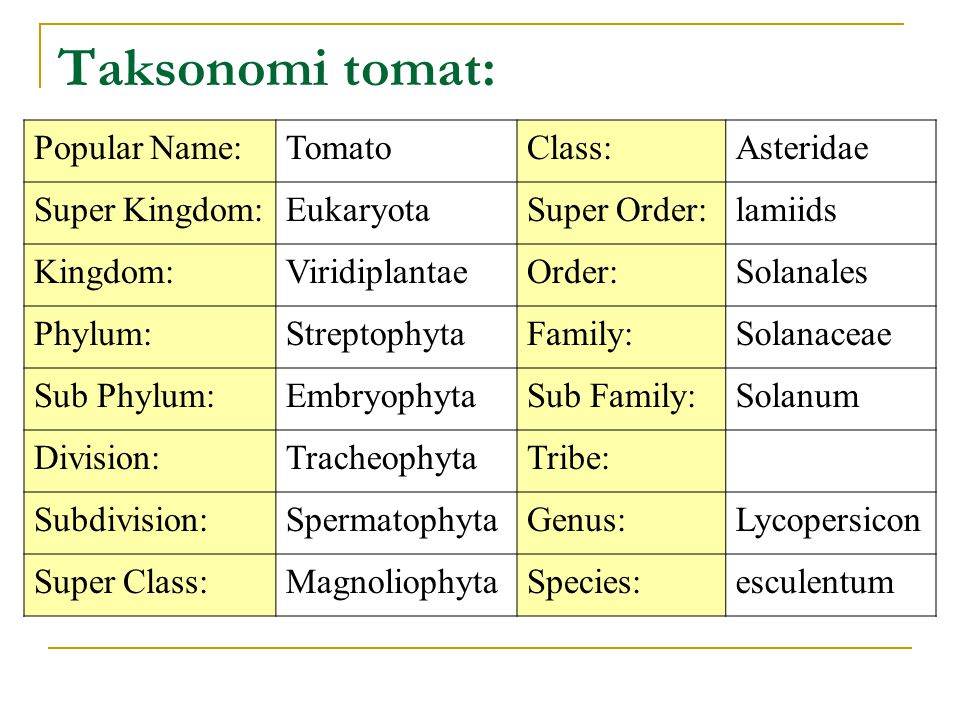 Taksonomi tomat: Popular Name:TomatoClass:Asteridae Super Kingdom:EukaryotaSuper Order:lamiids Kingdom:ViridiplantaeOrder:Solanales Phylum:StreptophytaFamily:Solanaceae Sub Phylum:EmbryophytaSub Family:Solanum Division:TracheophytaTribe: Subdivision:SpermatophytaGenus:Lycopersicon Super Class:MagnoliophytaSpecies:esculentum