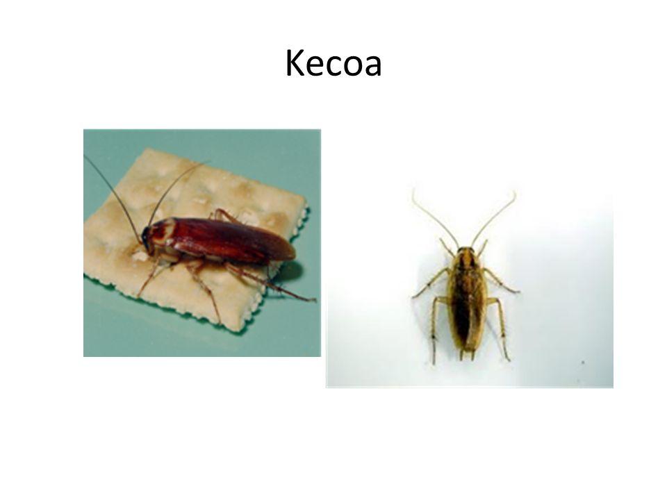 Kecoa