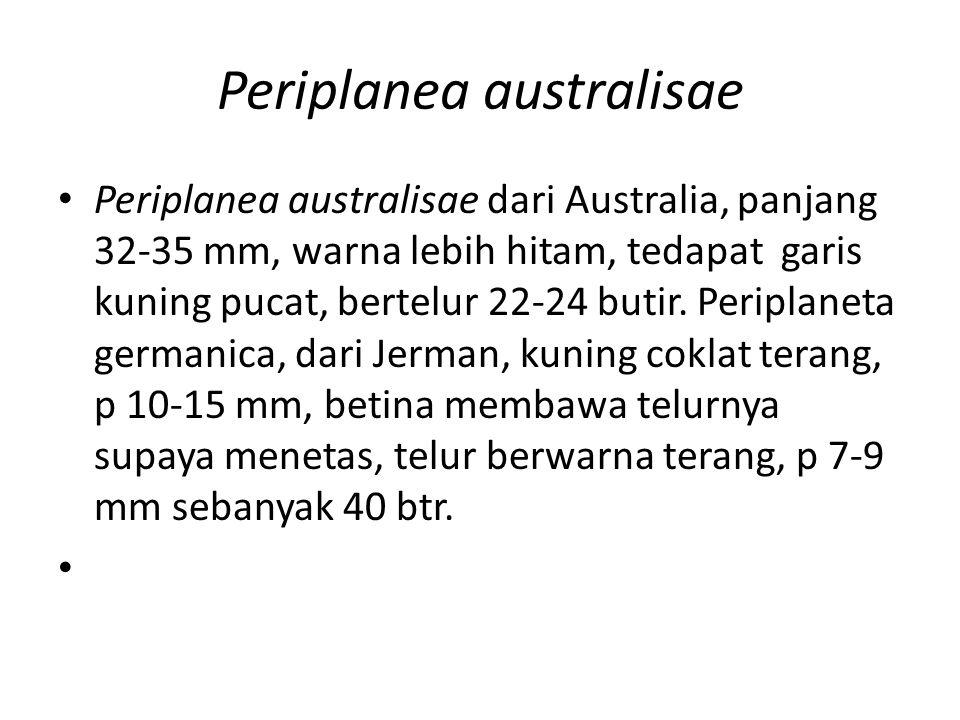 Periplanea australisae Periplanea australisae dari Australia, panjang 32-35 mm, warna lebih hitam, tedapat garis kuning pucat, bertelur 22-24 butir. P