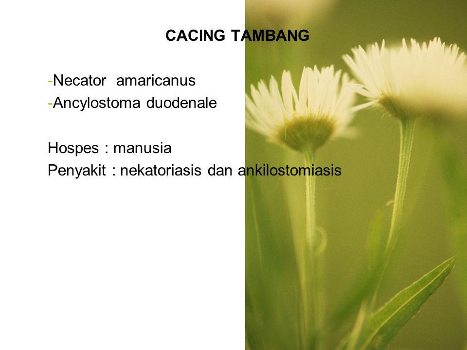 MORFOLOGI Cacing dewasa Betina-- 1cm Jantan-- 0,8 cm bentuk huruf S, ada benda kitin (N.Americanus) Bentuk huruf C, 2 pasang gigi (A.