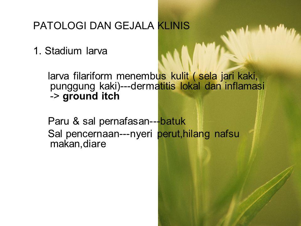 PATOLOGI DAN GEJALA KLINIS 1. Stadium larva larva filariform menembus kulit ( sela jari kaki, punggung kaki)---dermatitis lokal dan inflamasi -> groun