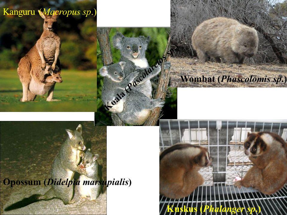 10. Ordo marsupialia (berkantong) Memiliki marsupium (kantong) Memilki sepasang uterus dan sepasang vagina Marsupium juga di gunakan untuk perlindunga
