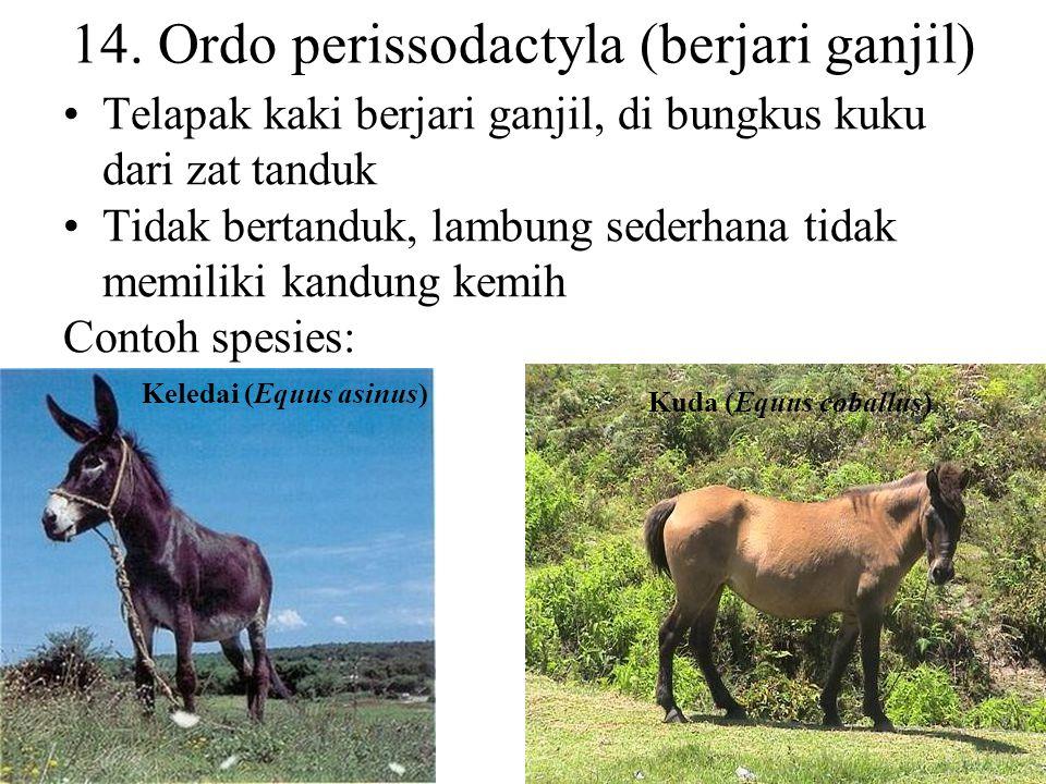 13. Ordo pholidota (bersisik, tak bergigi) Umumnya tak bergigi dan tak memiliki klavikula Tubuh di lindungi sisik yang merupakan modifikasi dari tandu