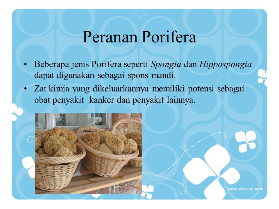 Klasifikasi Porifera C.Demospongia (spons tebal) Umumnya tidak berangka karena tersusun dari serabut spongin, memiliki saluran air rumit seperti sponge Contoh: Spongilla, Euspongia molisima, Hypospongia equina