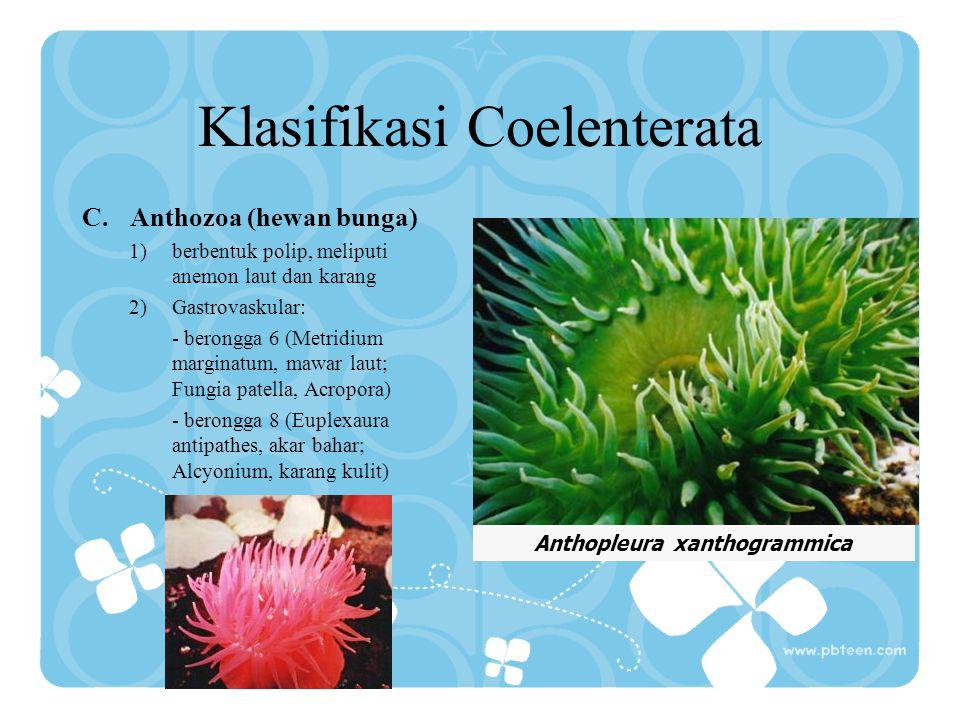 Klasifikasi Coelenterata B.Scyphozoa (hewan mangkuk) 1)bentuk tubuh selalu medusa 2)beralat kelamin terpisah. Contoh: Aurelia (ubur-ubur) Aurelia auri