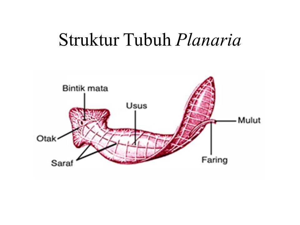 Tubellaria (Cacing Bulu Getar) Contohnya adalah Planaria, dimana: Ciri : 1 - 60 cm, hidup di air tawar jernih, mempunyai faring yang dapat dijulurkan untuk menangkap makanan.