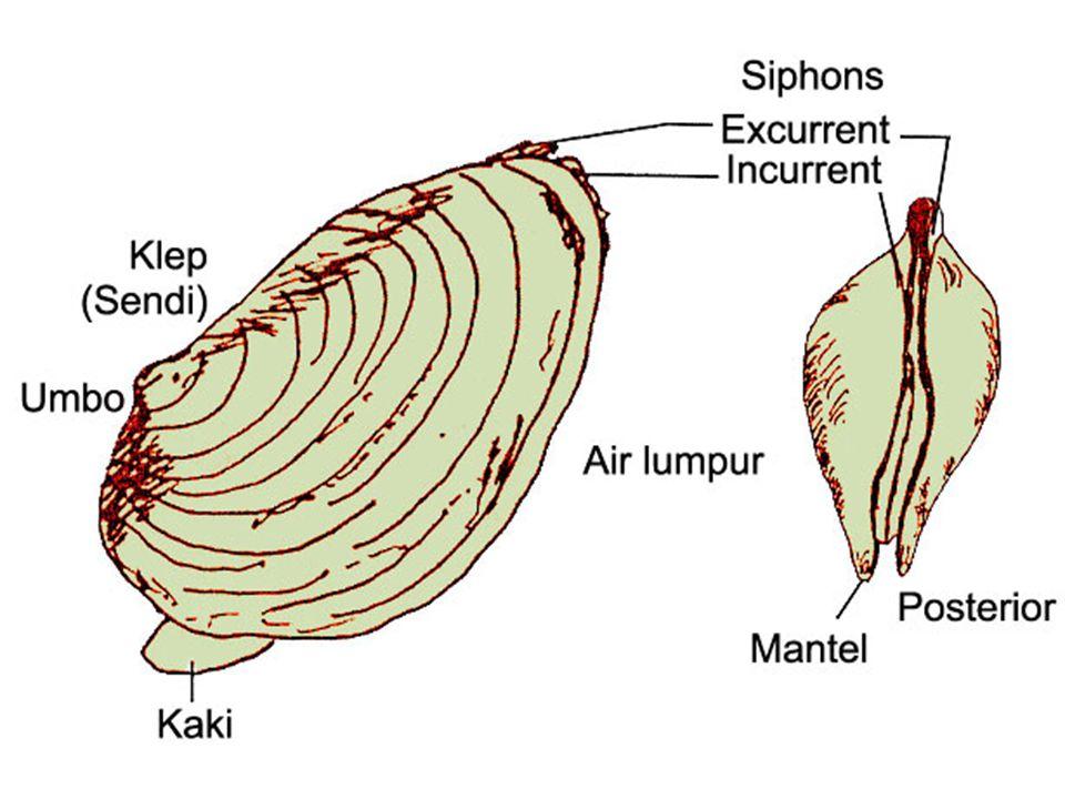 Pelecypoda Mempunyai insang berlapis-lapis (Lamellibranchiata) dan bercangkok sepasang (bivalvia) Tubuhnya simetris bilateral Pencernaan:esofagus, lambung, usus, dan kelenjar pencernaan Peredaran darah merupakan peredaran darah terbuka Cangkok terdiri dari : periostrakum (terluar), prismatik (tengah), nakreas (dalam Sistem saraf terdiri dari 3 ganglion : celebral/anterior, pedal, posterior Contoh: Asaphis detlorata (remis), Meleagrina marganitivera ( kerang mutiara)