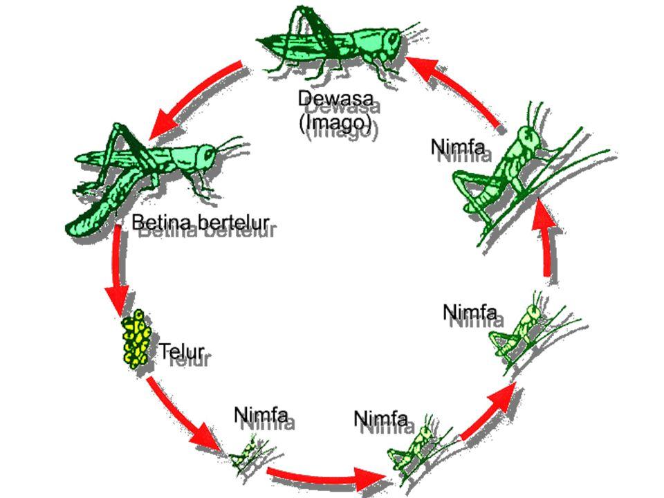 Abdomen, terdiri dari 10, atau 11 segmen Reproduksi: berkelamin terpisah, pembuahan terjadi di dalam tubuh induk betina. Serangga umumnya bersifat ovi