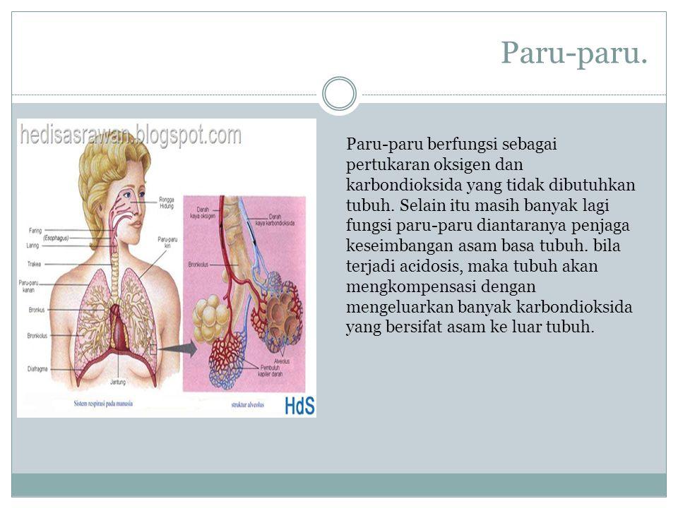 Paru-paru. Paru-paru berfungsi sebagai pertukaran oksigen dan karbondioksida yang tidak dibutuhkan tubuh. Selain itu masih banyak lagi fungsi paru-par