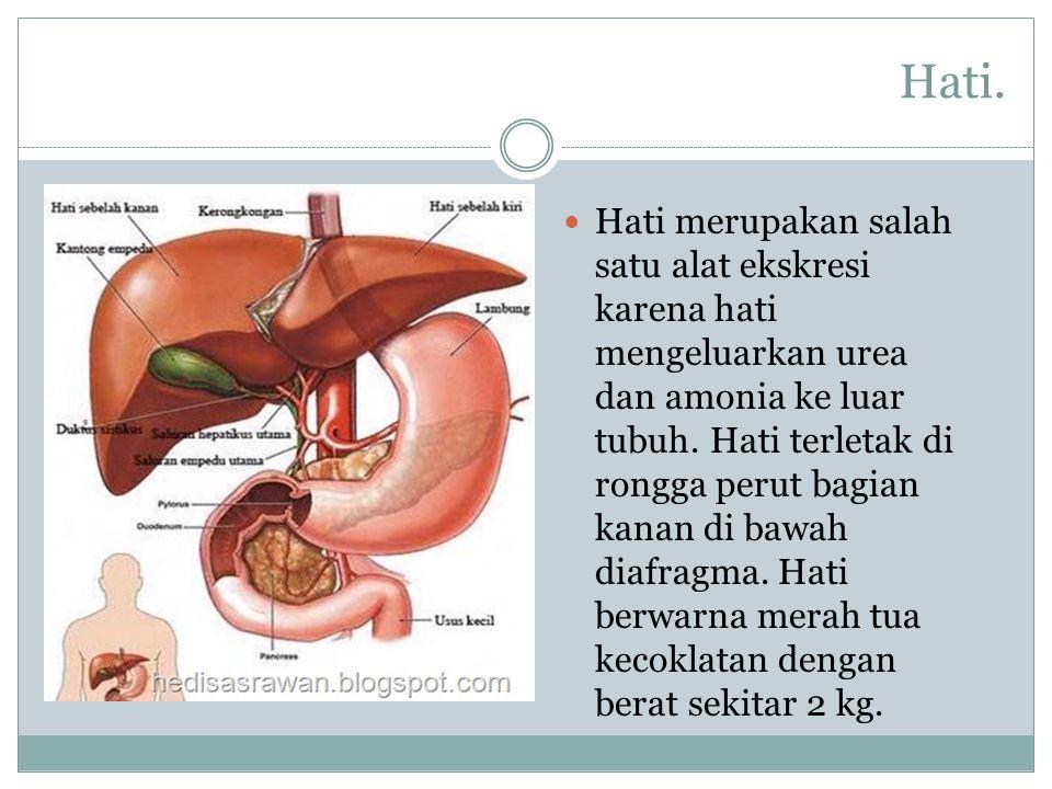 Hati. Hati merupakan salah satu alat ekskresi karena hati mengeluarkan urea dan amonia ke luar tubuh. Hati terletak di rongga perut bagian kanan di ba