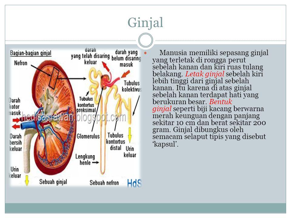Ginjal Manusia memiliki sepasang ginjal yang terletak di rongga perut sebelah kanan dan kiri ruas tulang belakang. Letak ginjal sebelah kiri lebih tin