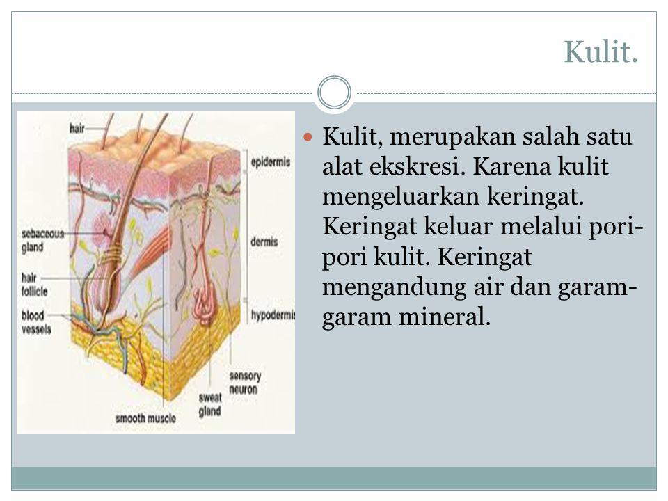 Kulit. Kulit, merupakan salah satu alat ekskresi. Karena kulit mengeluarkan keringat. Keringat keluar melalui pori- pori kulit. Keringat mengandung ai