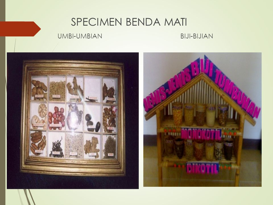 SPECIMEN BENDA MATI UMBI-UMBIANBIJI-BIJIAN