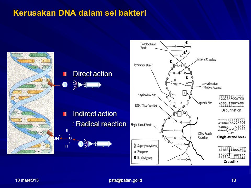 Kerusakan DNA dalam sel bakteri Direct action Indirect action : Radical reaction : Radical reaction e-e- H O H OH · e-e- 13 maret01513 psta@batan.go.id