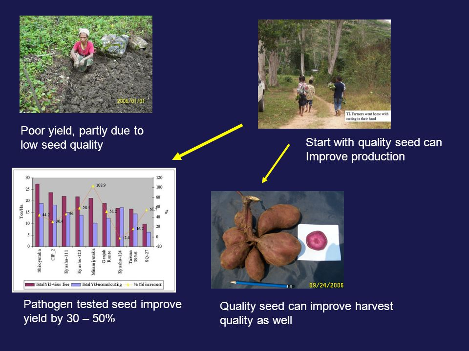 Poor yield, partly due to low seed quality Pathogen tested seed improve yield by 30 – 50% Quality seed can improve harvest quality as well Start with quality seed can Improve production
