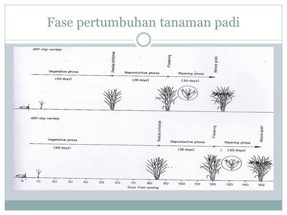 Fase pertumbuhan tanaman padi
