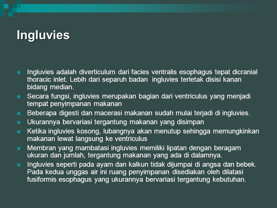 Ingluvies Ingluvies adalah diverticulum dari facies ventralis esophagus tepat dicranial thoracic inlet. Lebih dari separuh badan ingluvies terletak di