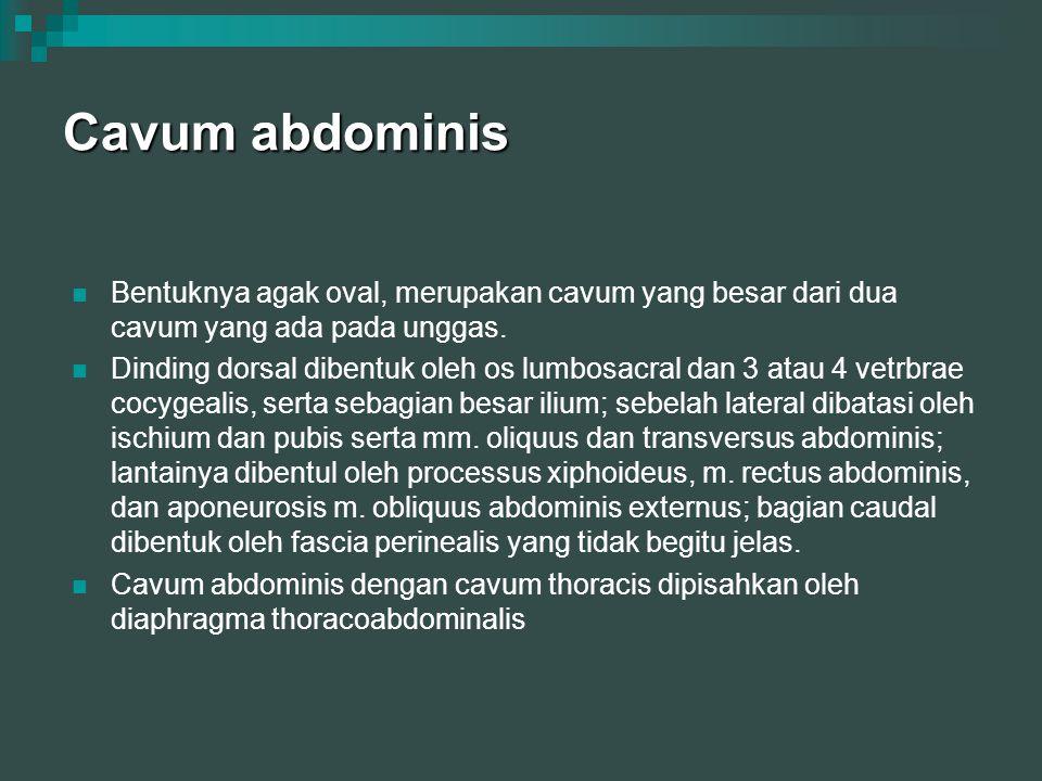 Cavum abdominis Bentuknya agak oval, merupakan cavum yang besar dari dua cavum yang ada pada unggas. Dinding dorsal dibentuk oleh os lumbosacral dan 3