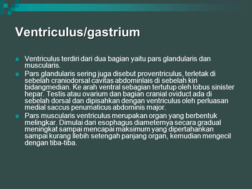 Ventriculus/gastrium Ventriculus terdiri dari dua bagian yaitu pars glandularis dan muscularis. Pars glandularis sering juga disebut proventriculus, t