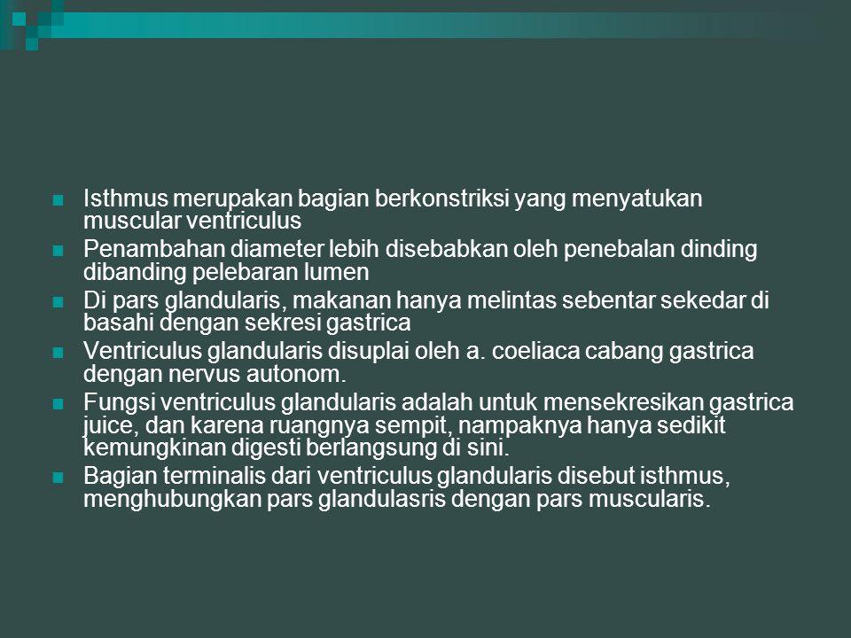 Ventriculus muscularis Ventriculus muscularis sering juga disebut gizzard.