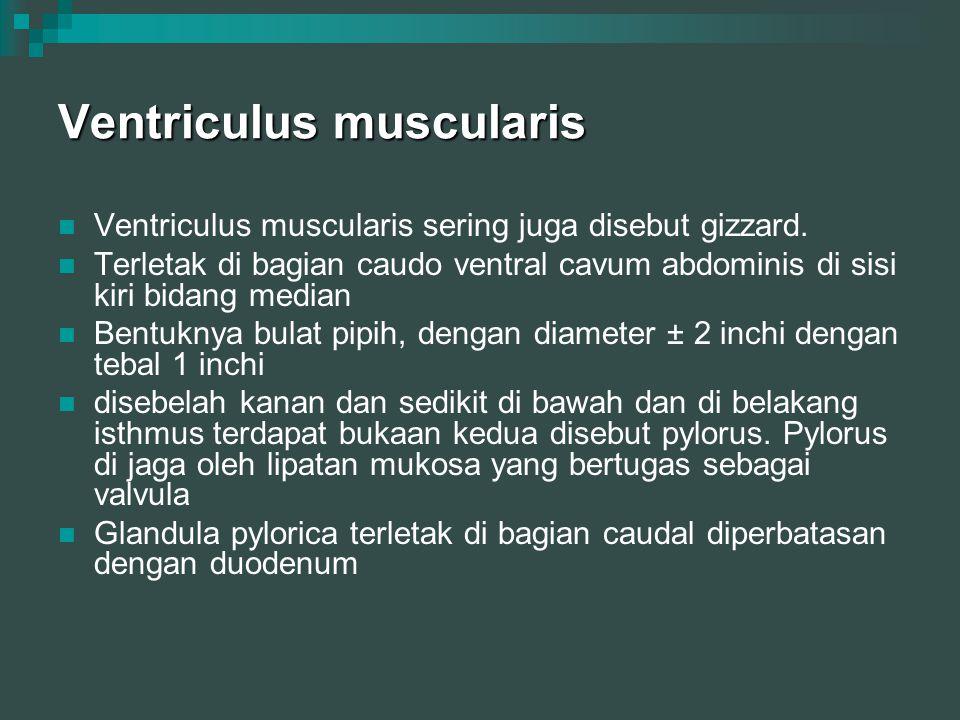 Ventriculus muscularis Ventriculus muscularis sering juga disebut gizzard. Terletak di bagian caudo ventral cavum abdominis di sisi kiri bidang median