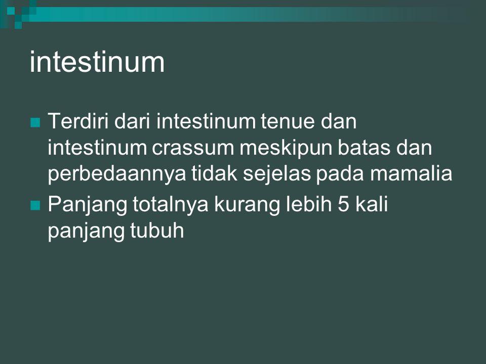 intestinum Terdiri dari intestinum tenue dan intestinum crassum meskipun batas dan perbedaannya tidak sejelas pada mamalia Panjang totalnya kurang leb